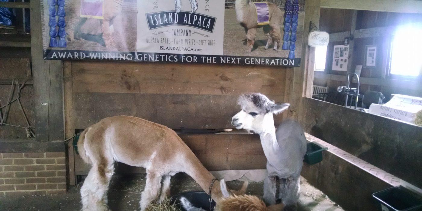 Martha's Vineyard Alpaca