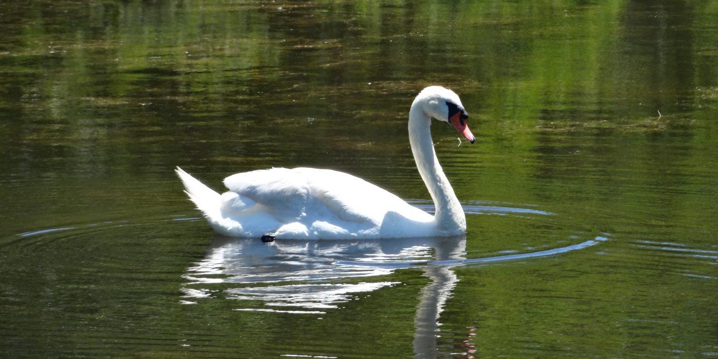 Felix Neck Swan