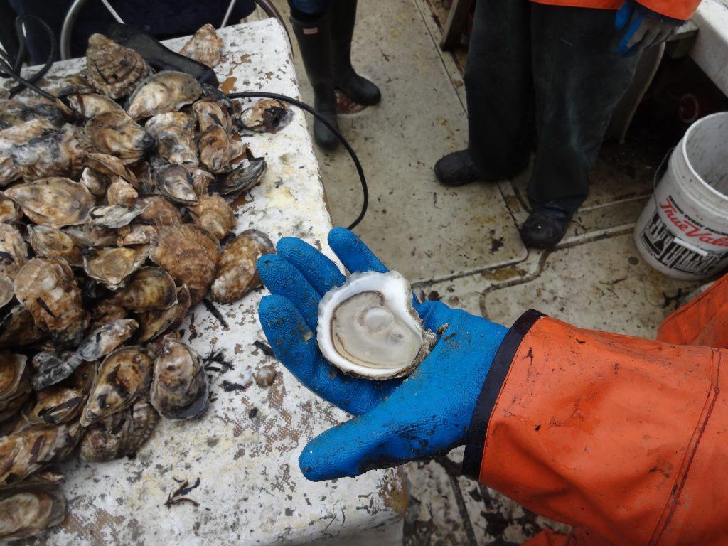 Oysters Martha's Vineyard