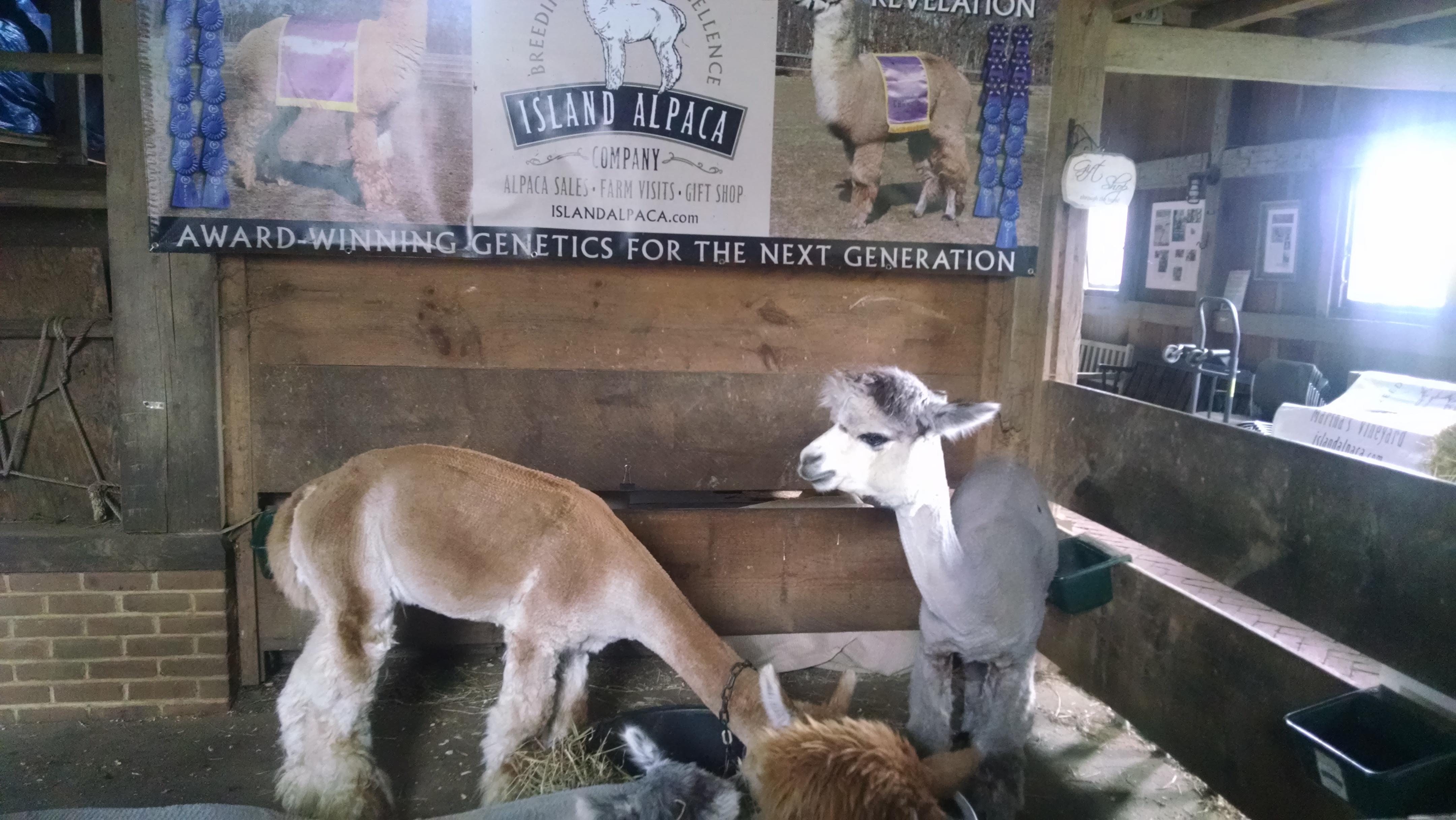 MV Alpaca Farm