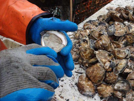Martha's Vineyard Oyster being shucked