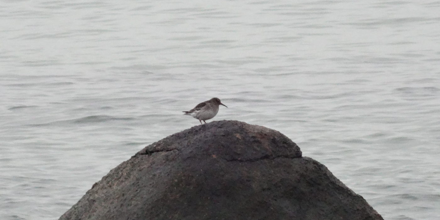 Purple Sandpiper on Rock