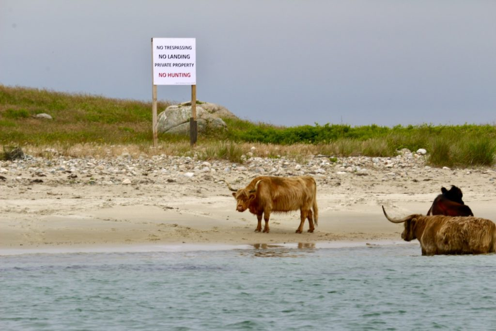 Scottish Highland Cattle on Beach