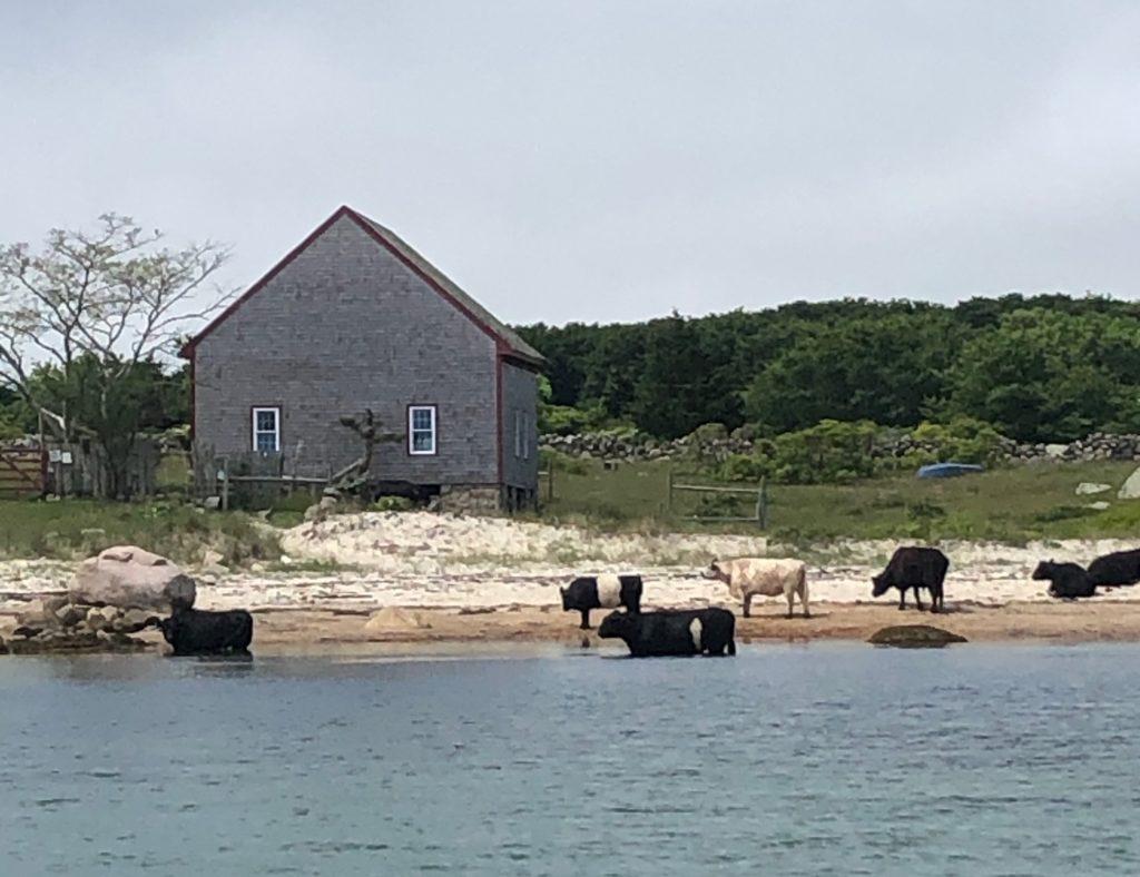 Cows in water Naushon Island