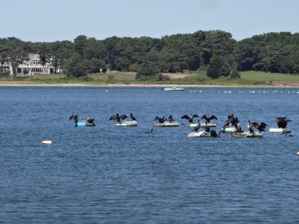 Cormorants on Sengekontacket Pond