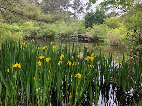 Daffodils at Mytoi Gardens